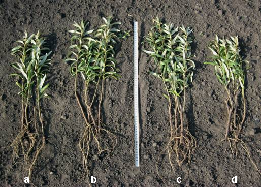 Effect of bacterial strains on lignified sea-buckthorn cuttings after watering the soil with the preparations in the concentration of 105 CFU/ml after planting in May.