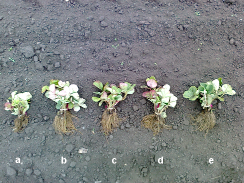 Effect of bacterial strains on transplanted strawberry tufts (5 plants in each bunch). The treatment was made with watering the soil with Fitop 8.67 in the concentration of 105 CFU/ml in early August.